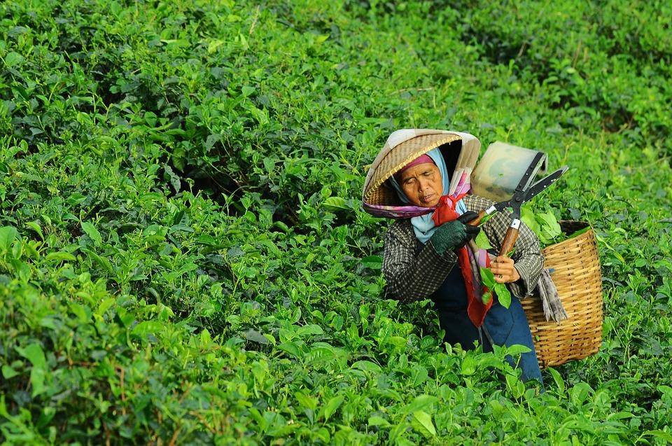 čaj lapacho - čajové plantáže foto